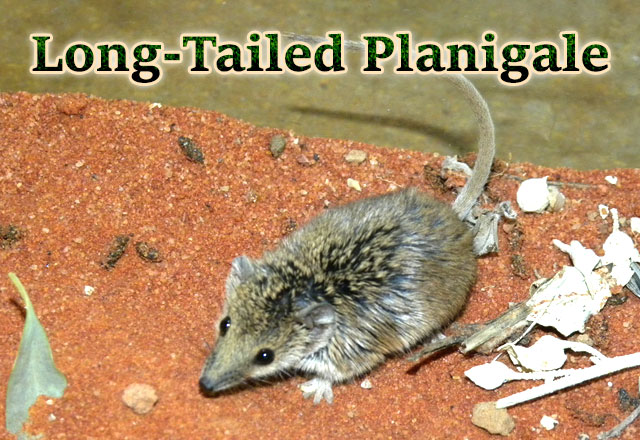 Long-tailed-planigale