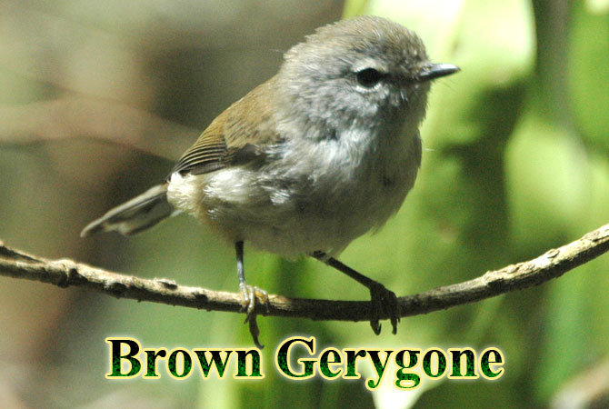 Brown-Gerygone