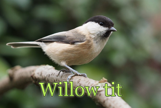 Willow-tit