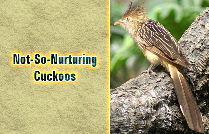 5-not-so-nurturing-cuckoos